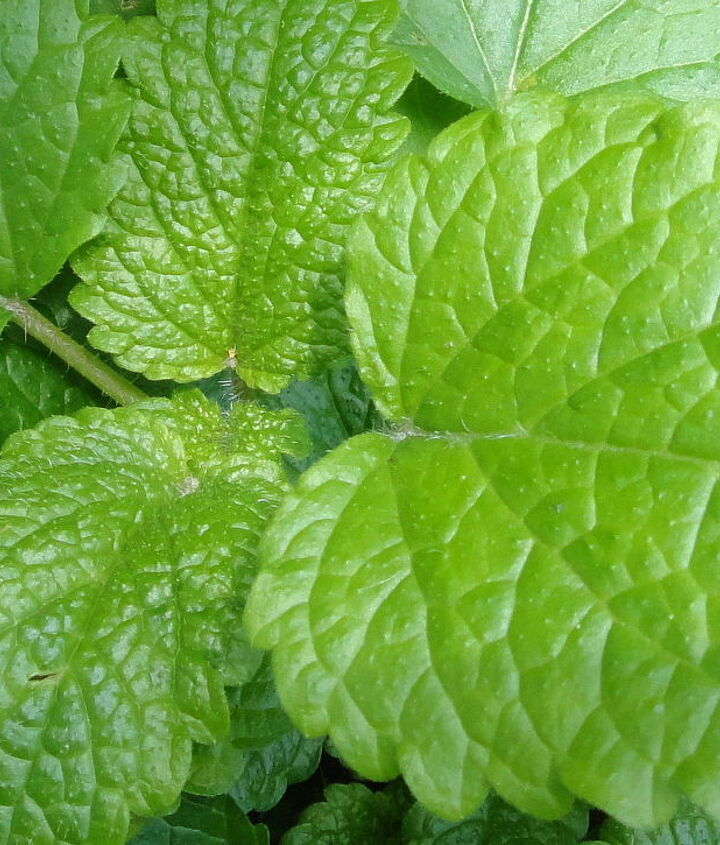 4. Lemon Balm. Citronella compounds in its leaves do a wonderful job of repelling insects. Safe to rub on your skin as an organic mosquito repellent.