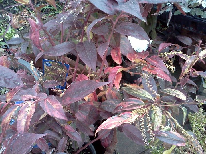 Leucothoe 'Rainbow' displays lovely fall colors and you don't have to have a large area to plant it