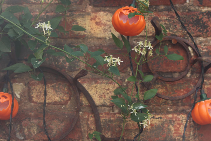 Pumpkin Lights Share Trivets With Autumn Clematis View 3. INFO on trailing habits of Autumn Clematis @ https://vimeo.com/37027072 AND @ http://bit.ly/19nccfc