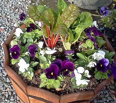 round container using primary bold colors, Center planted with taller Bright lights chard because it will be viewed from all sides.