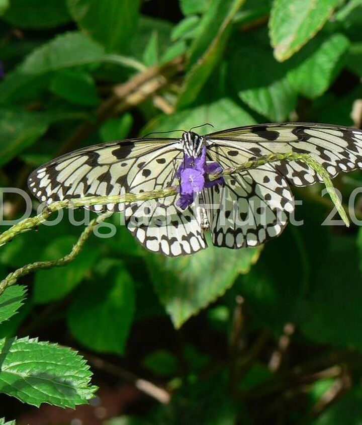 Butterfly feasting on porterweed. (Note to self: plant more.)