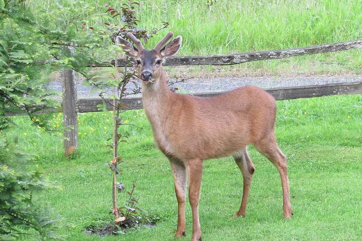 This deer was just trimming my tree I just put in my yard this year.