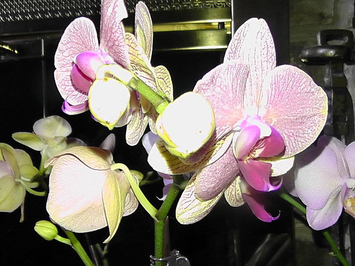 i d like to share my collections, flowers, gardening, Phalaenopsis