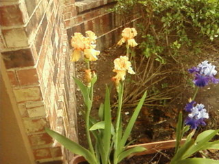 my spring flowers, flowers, gardening, This is my champagne Iris