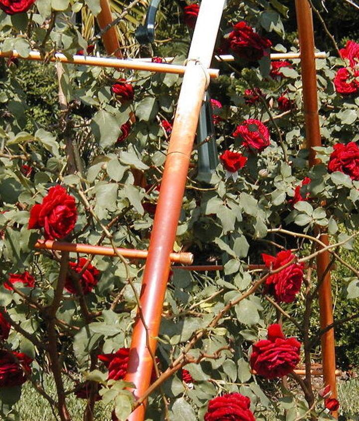 name this rose, gardening