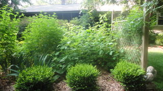 how to build a wire trellis for vertical gardening, diy, gardening, how to, this is the u shaped row of Korean boxwood at the side of the bed