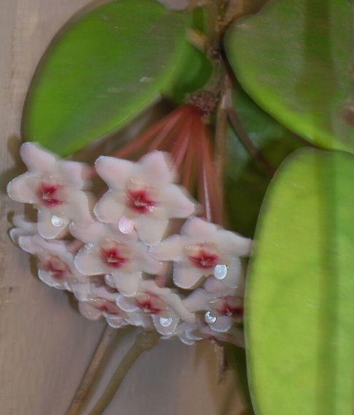 Hoya in bloom.