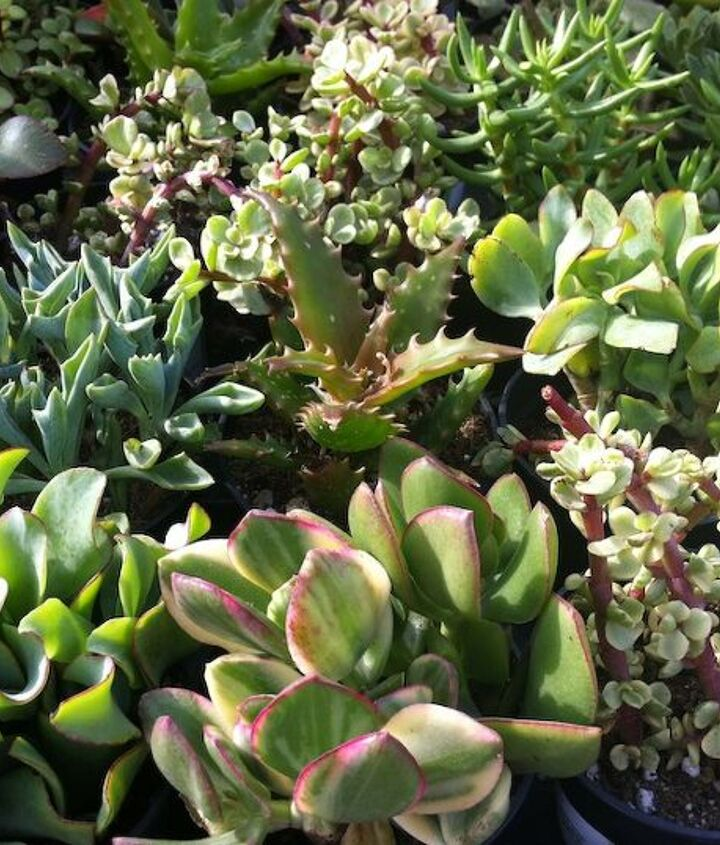 lush succulents from Home Depot