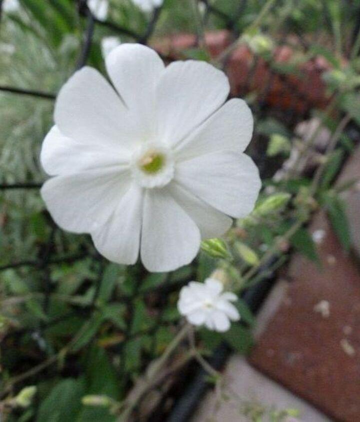 q please help identify this plant, flowers, gardening