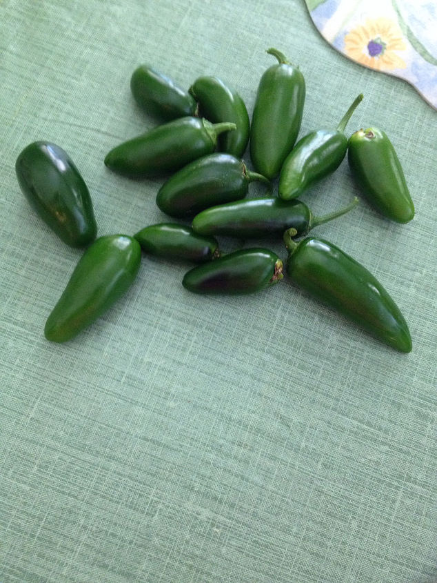 jalepenos still going strong, gardening, Still getting peppers The planar look terrible but are still blooming and producing