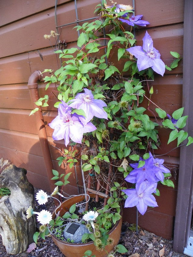 NEIGHBORS CLEMATIS!!! I'm SOOOOO Jealous!!! and Her FLOWERS are HUGE!
