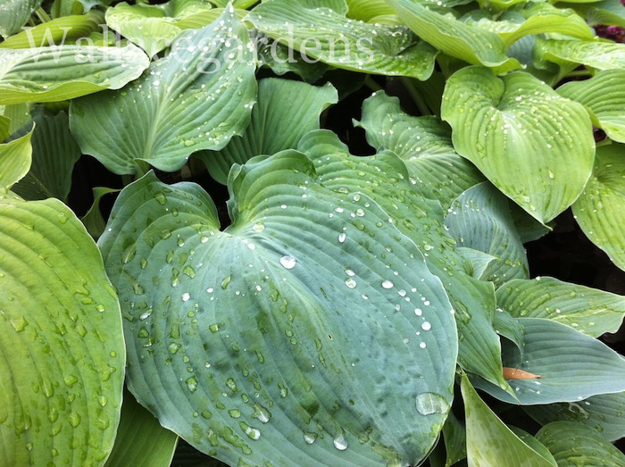 Great big hosta heart.