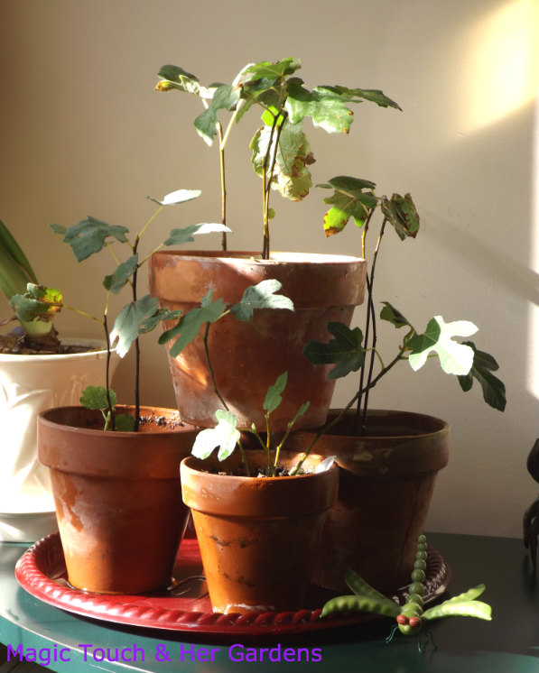 Overwintering my new Fig varieties in a sunny spot!