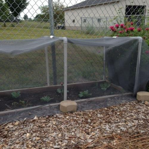 The cabbage tent.  Last year something attacked my brassicas...hoping that won't happen this year.