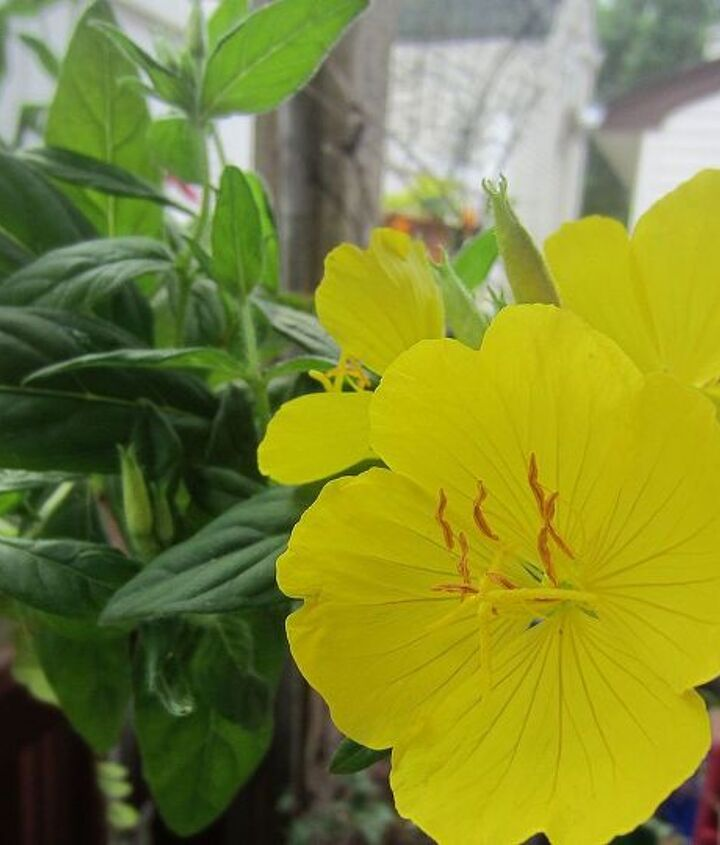 i have this flower which i don t know the name please help, flowers, gardening