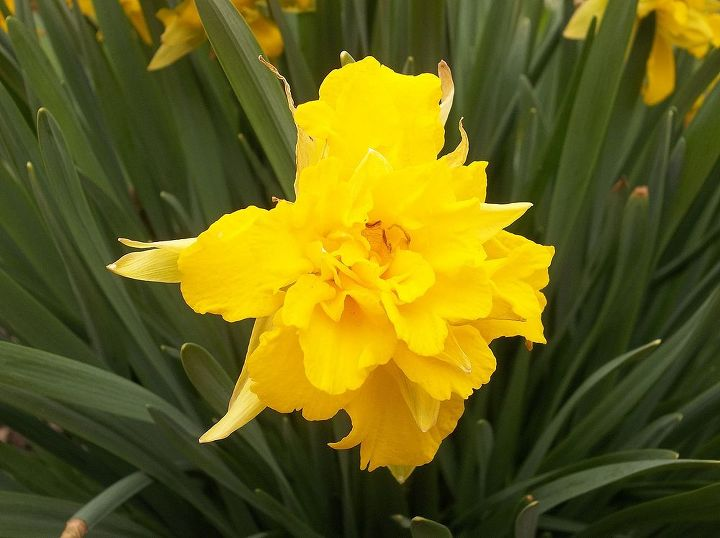 I have lots of these daffodils that came with the house. these are done for this year.