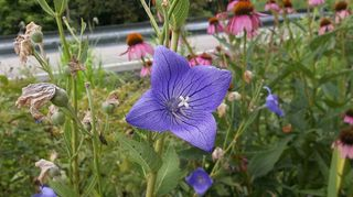 what is the best way to gather balloon flower seeds, flowers, gardening, a balloon flower with 4 petals unlike my other one above with 5 petals