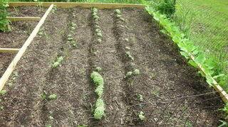 killing blade grass in garden, gardening, Veggies growing