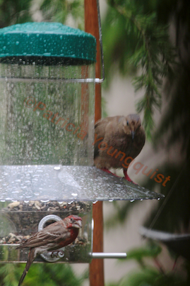 CB Feeder is a great place to nosh in the rain (if you are a small bird) even IF a mourning dove stares at you! (Referred to as Photo-Nineteen in post.)
