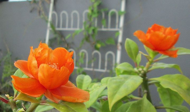 beautiful rose cactus, flowers, gardening