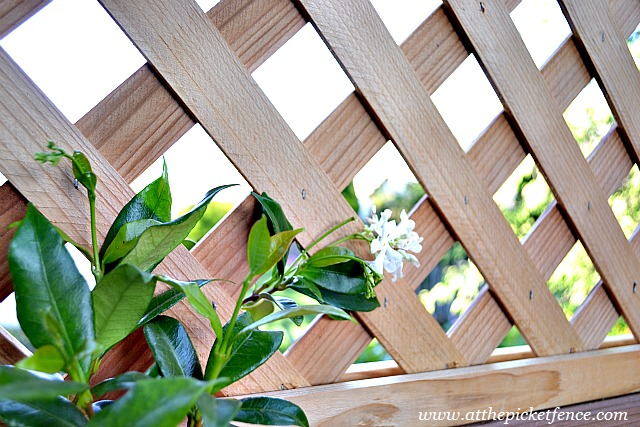 Pots of jasmine are growing up the lattice and smell so wonderful when we're sitting outside.