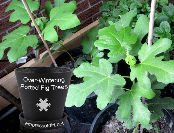 Overwintering in pots by Melissa, Empress of Dirthttp://www.empressofdirt.net/overwintering-figs/