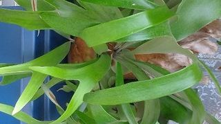 q i have abeautiful staghorn fern that i started in a hanging wire basket my problem, gardening