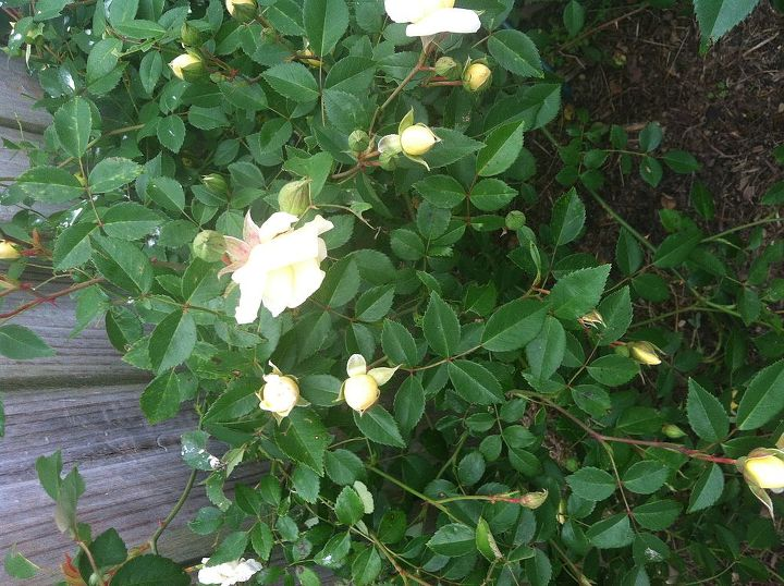 q can anyone tell me the name of this rose i know it s a climber is long lived amp, gardening, Another pic