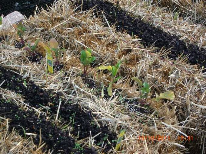 pics of my new straw bale garden it loved the rain this last weekend i have a few, gardening