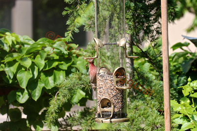 Male House Finch Has No Problem With WBUSS Feeder! View Two. (Referred to as Photo-Seven in post.)