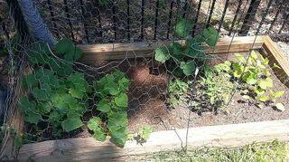 , Veg Garden Cucumbers Pumpkins from last fall Tomatoes Zuchini Black Egg Plant
