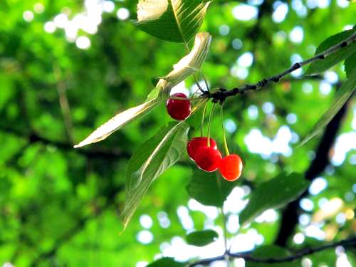 Neighbor's Cherry Tree