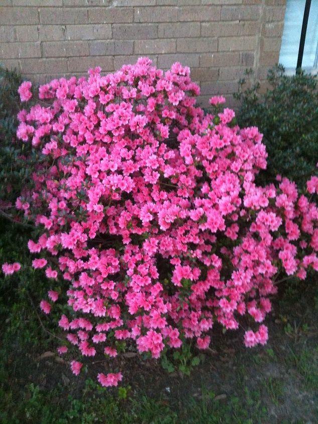 The Azalea in Bloom