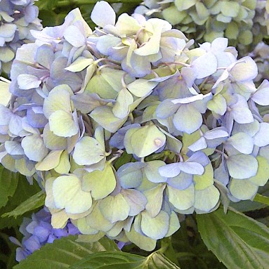 """macrophylla"" hydrangeas set their flowers on old wood. Little pruning is required to ensure prolific blooms unlike ""paniculata"" hydrangeas which set their flowers on this year's growth"