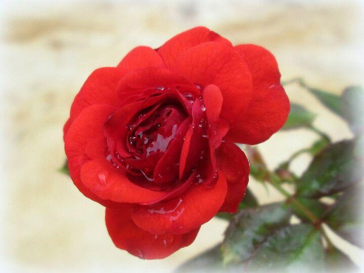 my roses, gardening