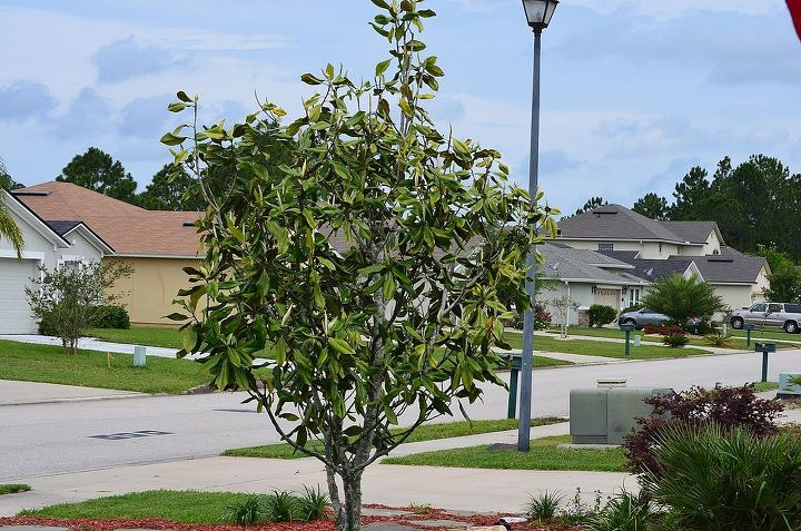 young magnolia tree wilting and needs help, gardening