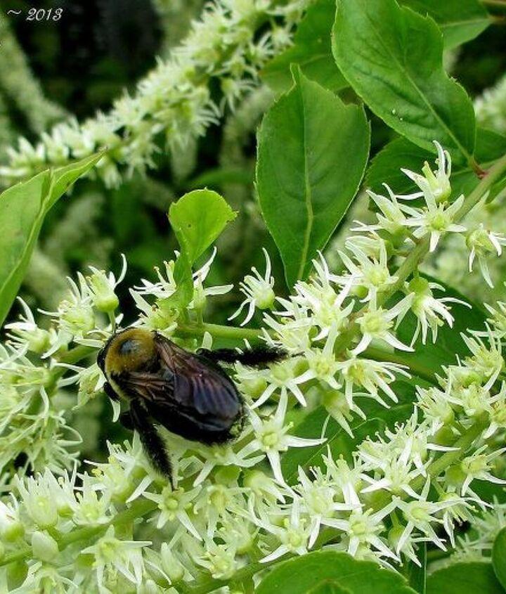 Bee on an Itea (Sweetspire)