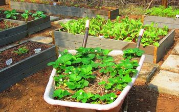 rotational veggie planting guide, gardening, The veggie patch with strawberries growing in the wheelbarrow