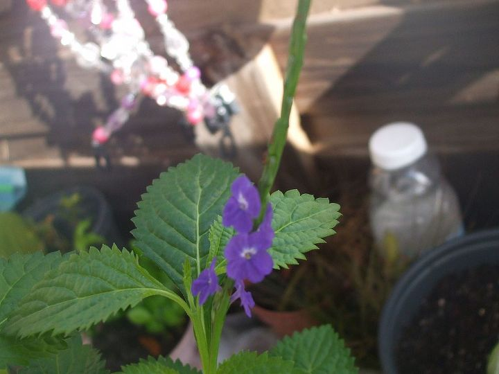 i have another mystery plant, flowers, gardening