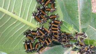 q does anyone know what these huge plants are i hope i haven t been saving weeds, gardening, these orange black caterpillars eat the Monarch food