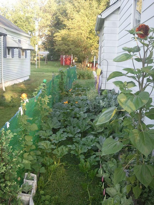 The pumpkins took over the garden....