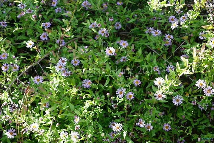 Climbing aster provides a mass of blooms relished by bees.