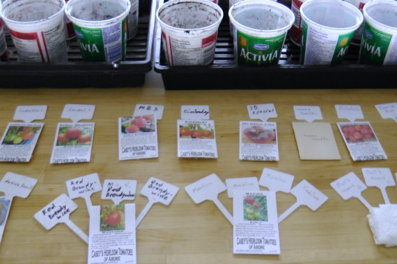 how to start heirloom tomatoes from seeds, container gardening, gardening