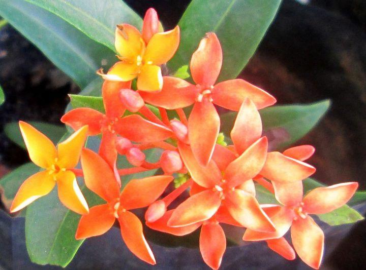 Ixora orange colour
