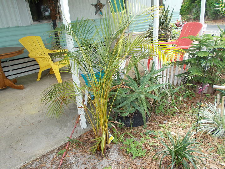 q why does my acrea palm look yellow need more water, gardening, landscape