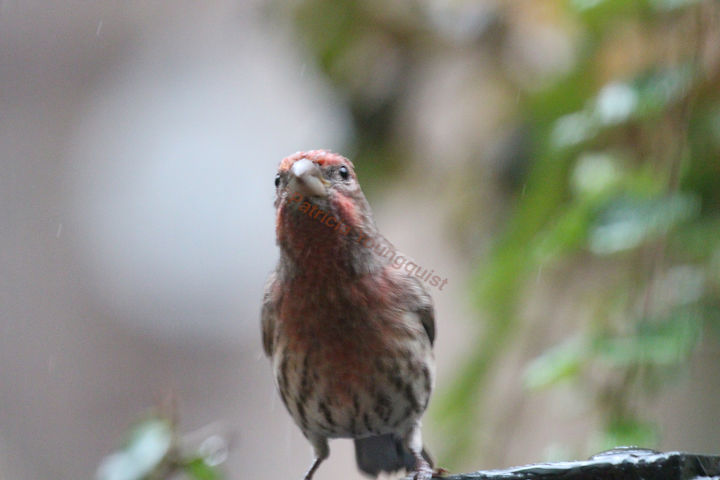 Like the mourning dove, the house finch enjoys an urban hedge for his favorite pass time: People Watching as he stares shamelessly into windows! INFO on finches @ http://www.thelastleafgardener.com/search/label/Finches AS WELL AS @