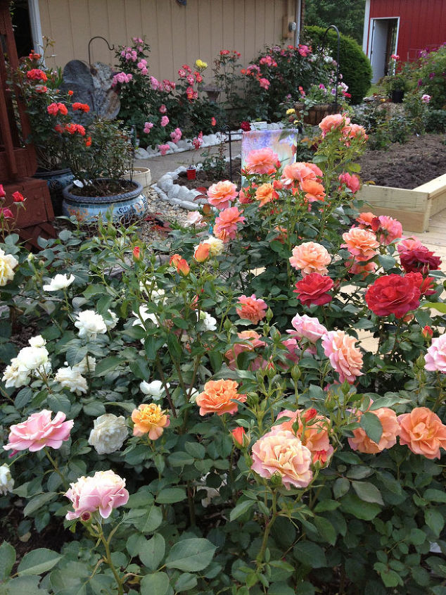 A Spring Rose Garden Bloom Defies Description