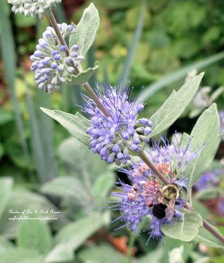 "Caryopteris ""Longwood Blue"" http://ourfairfieldhomeandgarden.com/seasonal-blooms/fall/"
