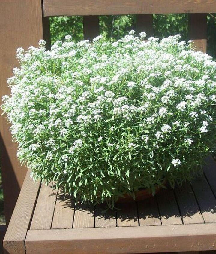 My 10-inch pot of Alyssum on my deck
