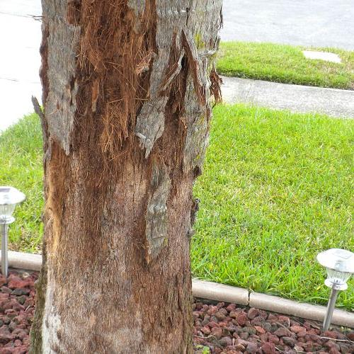 palm tree is shedding the bark what to do, gardening